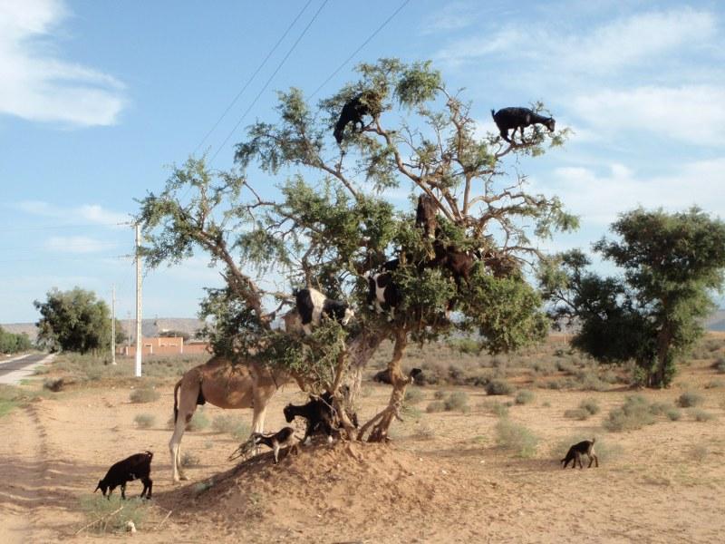 Des chèvres aventurières